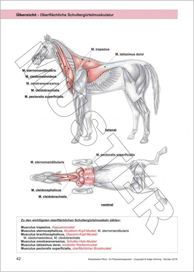 Schön Pferdegelenke Anatomie Ideen - Anatomie Ideen - finotti.info