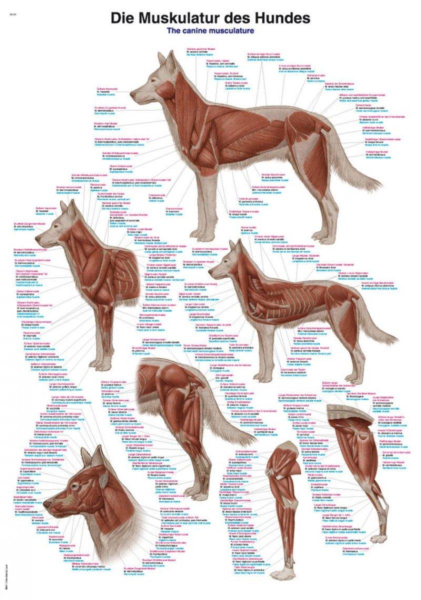 Poster und Übersichtskarten für Hundephysiotherapeuten